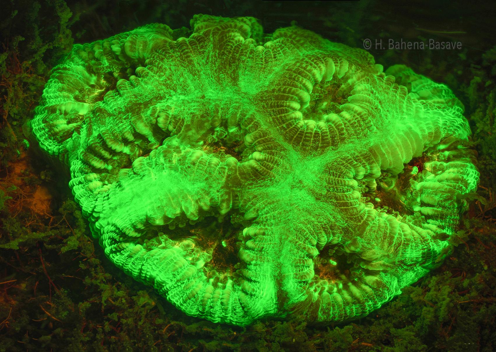 Coralito  con luz Ultravioleta