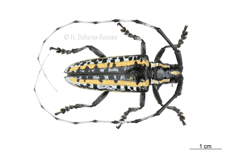 Coleóptero cerambícido