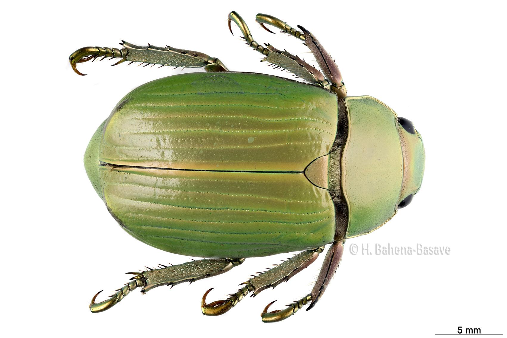 escarabajo Cacahuatepec 1