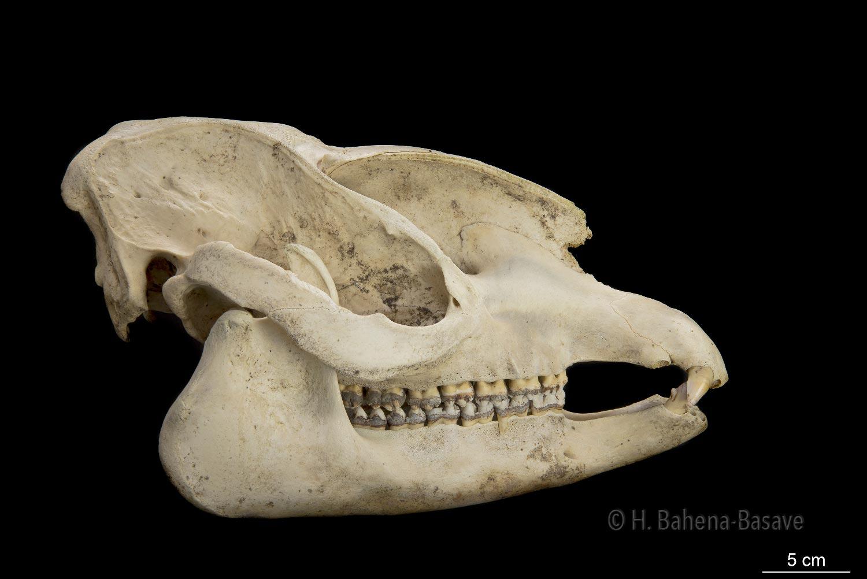 Cráneo de Tapir