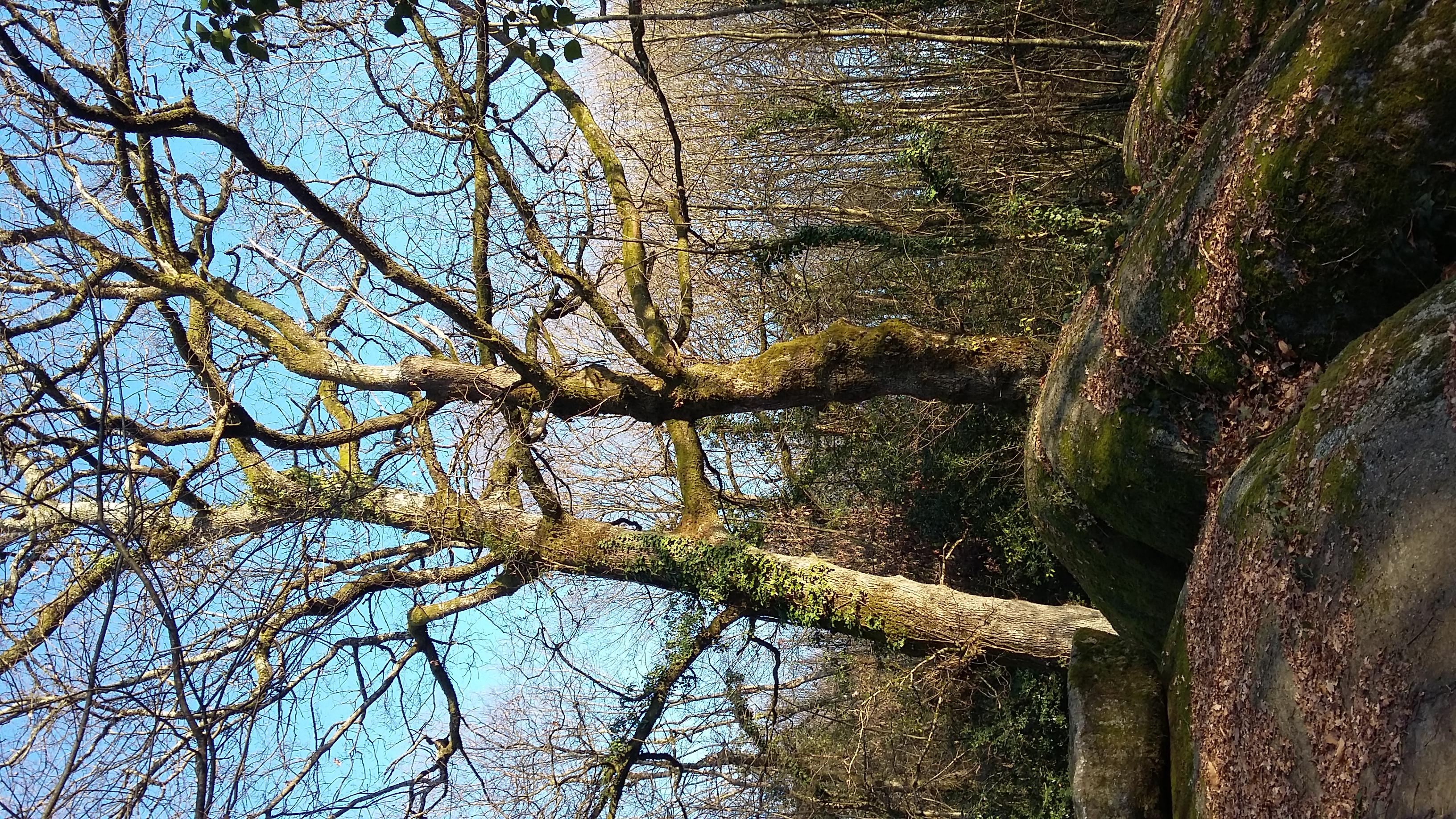 arbre à druides