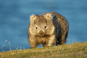 Vombatus ursinus - Common Wombat in the