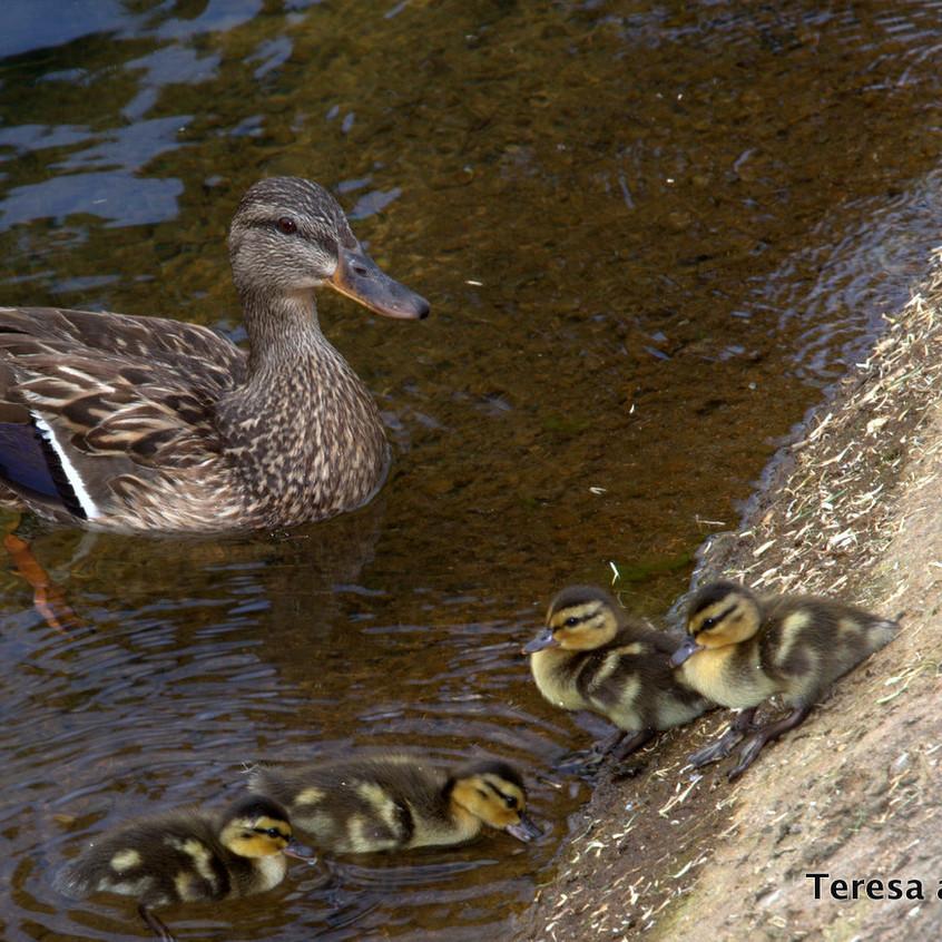 Duck & Fishing Pond at Welk Resort San Diego