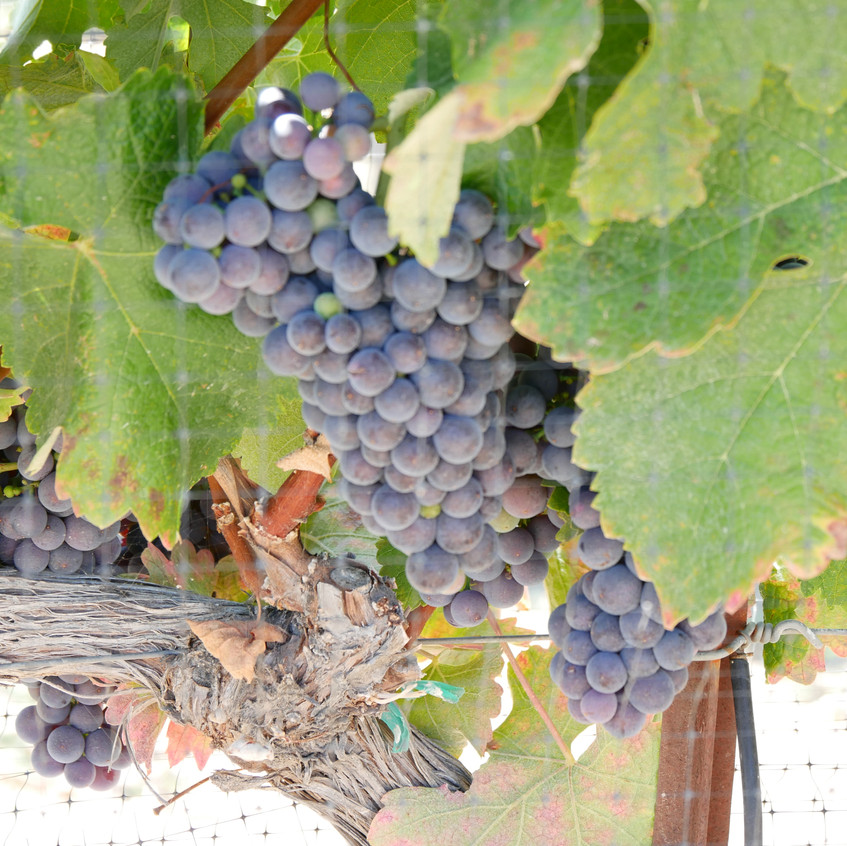 The Vineyards of Adelaida Cellars