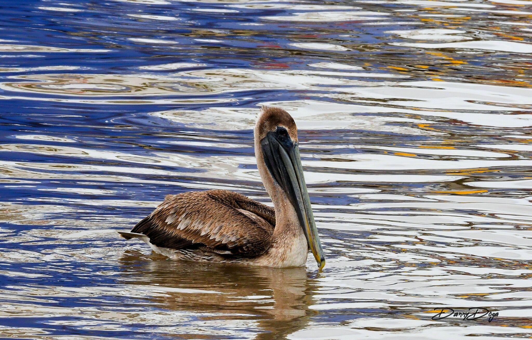 181126_Liles_pelican