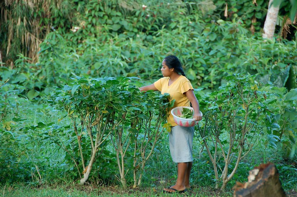 Banaban girl colleting Bele leaves