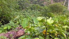 Value of Kava Farming for Rabi's Economy
