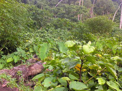 Kava growing on Rabi, Fiji