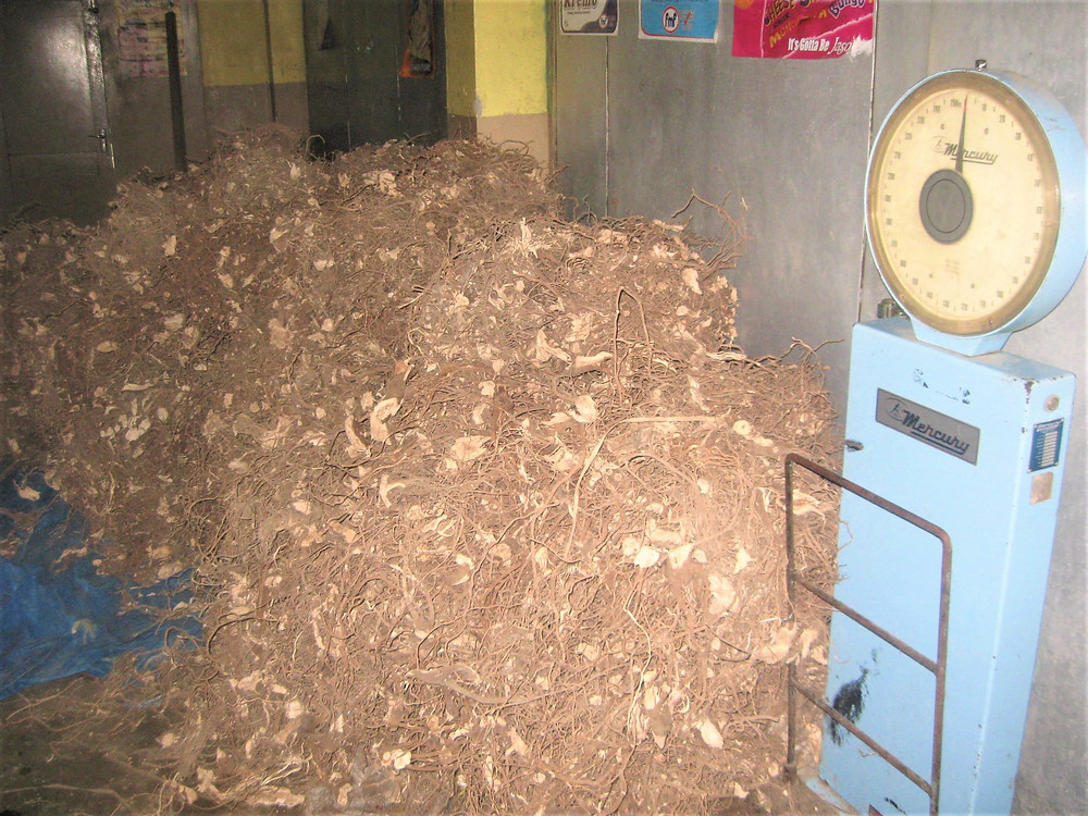 Harvested Kava root (waka) ready to be weighed, Rabi Fiji