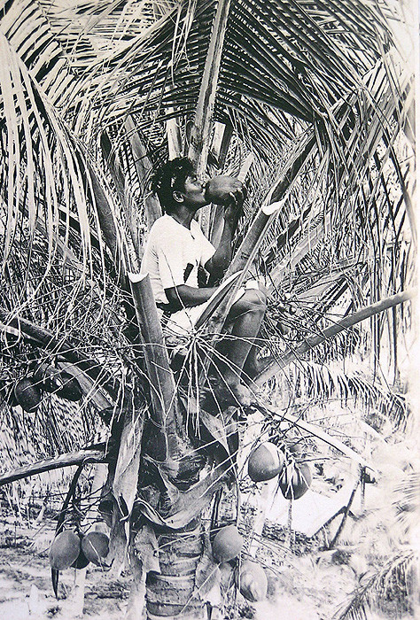 A Banaban collecting (sour) toddy early 1900s on Ocean Island (Banaba)