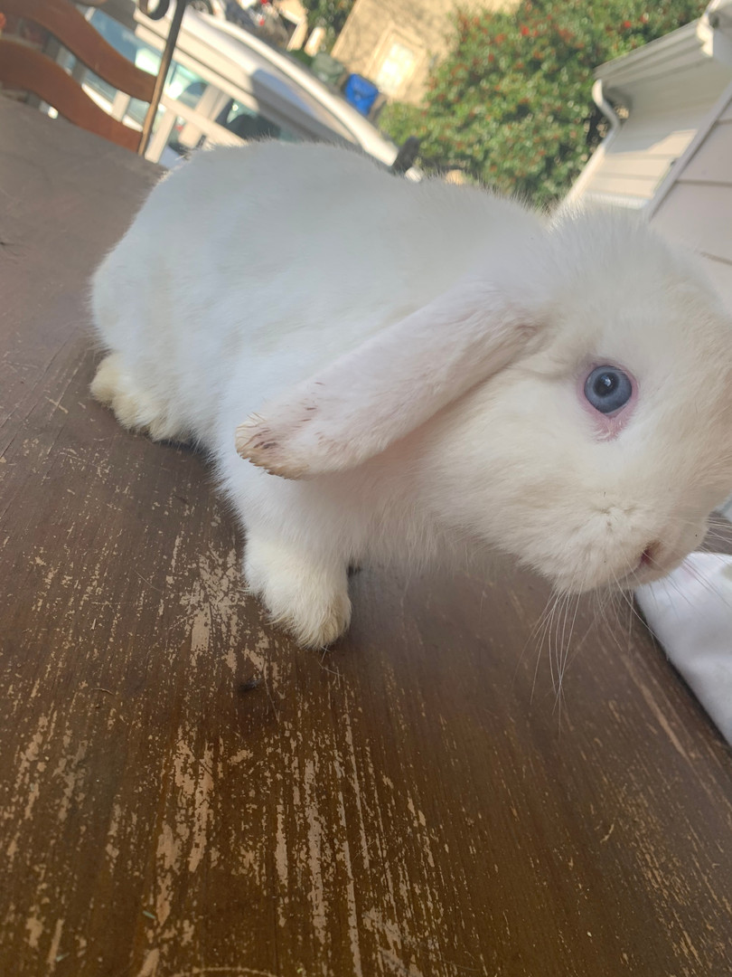 Holland Lop Male