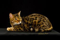 20160220_San Gabriel Valley Cat Fanciers-070-Edit