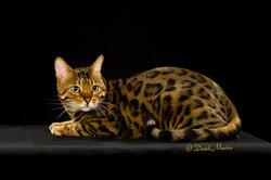 20160220_San Gabriel Valley Cat Fanciers-073-Edit