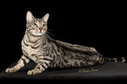 20160220_San Gabriel Valley Cat Fanciers-396-Edit