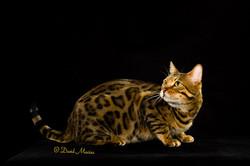 20160220_San Gabriel Valley Cat Fanciers-066-Edit
