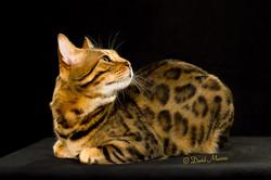 20160220_San Gabriel Valley Cat Fanciers-090-Edit