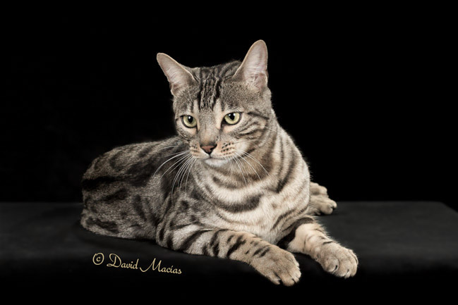 20160220_San Gabriel Valley Cat Fanciers-407-Edit