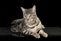 20160220_San Gabriel Valley Cat Fanciers-407-Edit