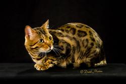 20160220_San Gabriel Valley Cat Fanciers-078-Edit