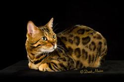 20160220_San Gabriel Valley Cat Fanciers-087-Edit