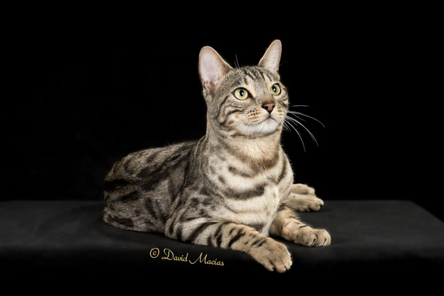 20160220_San Gabriel Valley Cat Fanciers-408-Edit
