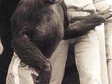 A Human-Chimpanzee Hybrid?