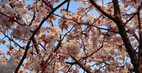 Moerenuma Park Cherry Blossoms