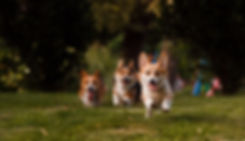 corgis run through the grass in the Park