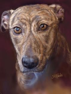 Eleri -  Bull Greyhound