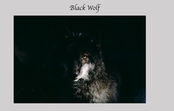 Unmatted color photographic print 20x 30.  Black Wolf, watching, eye