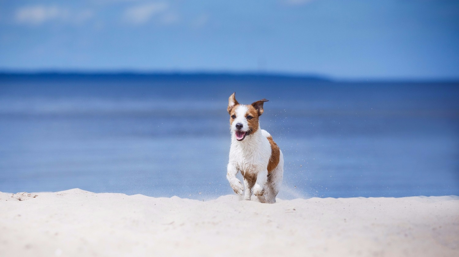 Jack Russell Terrier Walking, Playing On The Beach In Summer_edited_edited
