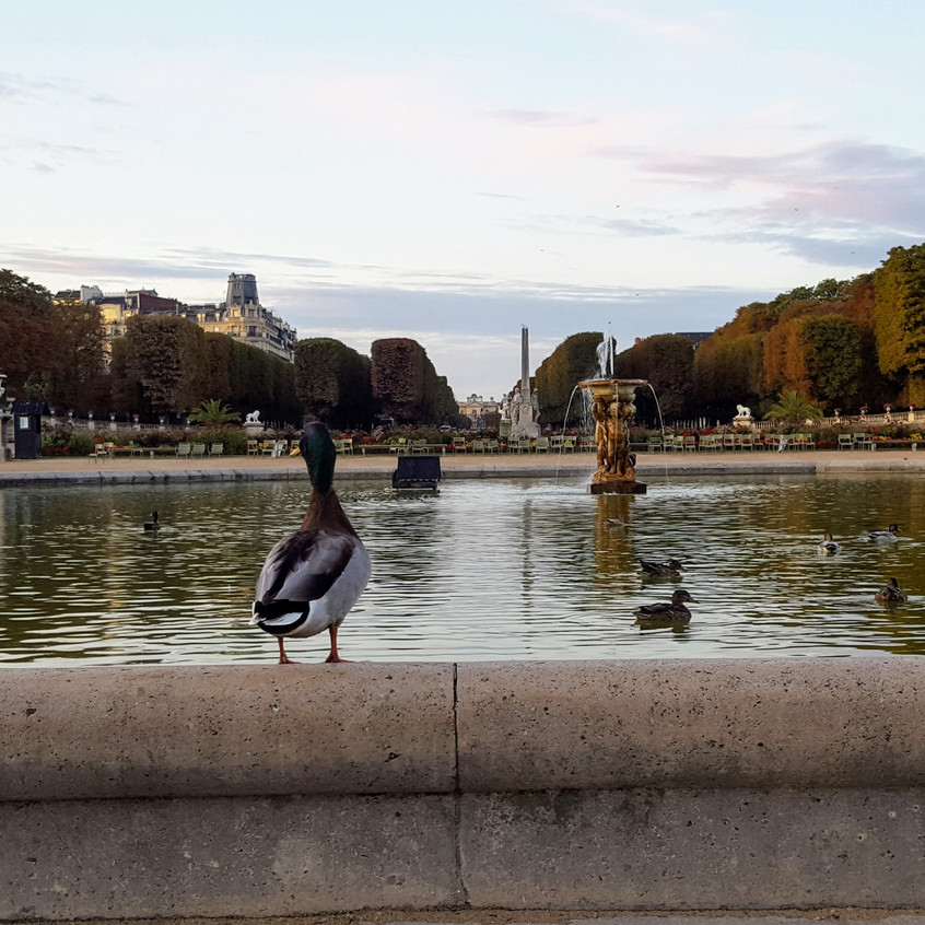 ducks at Luxembourg