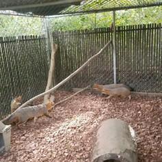 Gray Fox Family