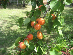 Abricotier du jardin