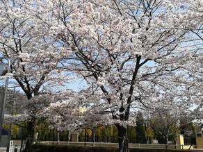 春になりましたね
