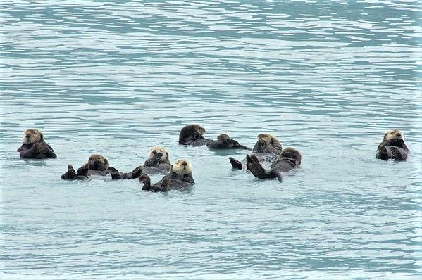 Sea Otters, Valdez, AK (2).jpeg