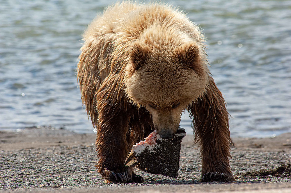 Alaskan Coastal Brown Bear eating salmon in Katmai National Park and Preserve