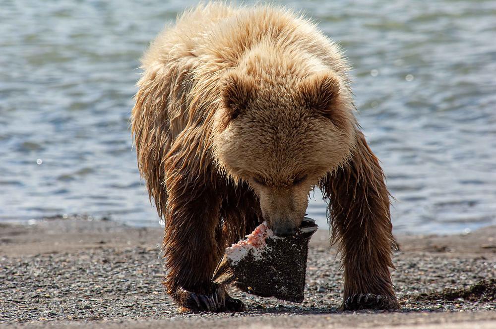 Alaskan Coastal Brown Bear eating salmon in Katmai National Park and Preserve