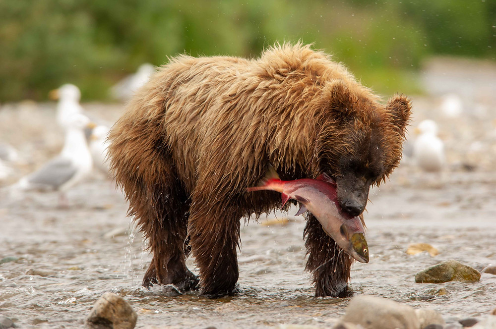 Successful salmon fishing by a coastal brown bear in Katmai National Park and Preserve