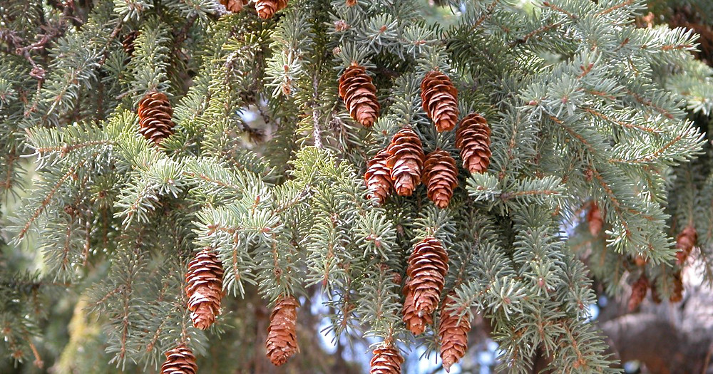The distinctly rounder scales of the white spruce cones distinguish it from a sitka spruce.