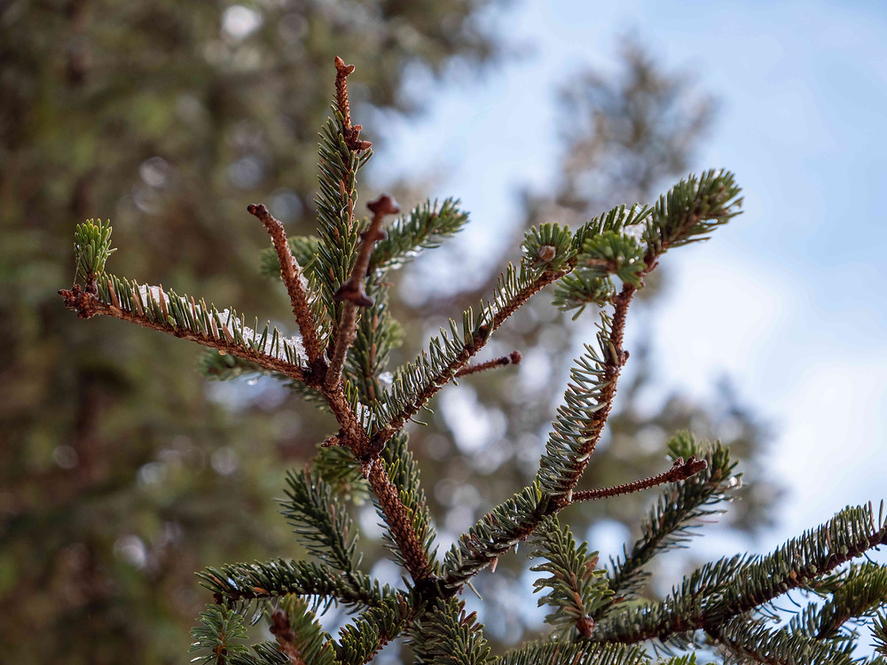 A black spruce can be identified by its shorter, blunter needles.
