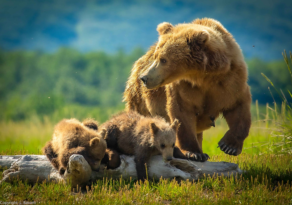Alaska Coastal Brown Bear with cubs in Katmai National Park and Preserve