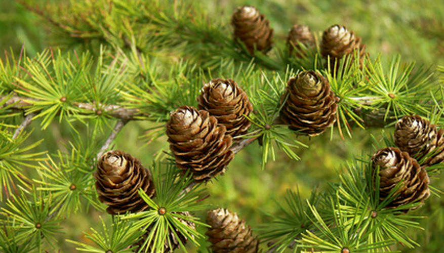 You can identify a black spruce by its egg-shaped cones.