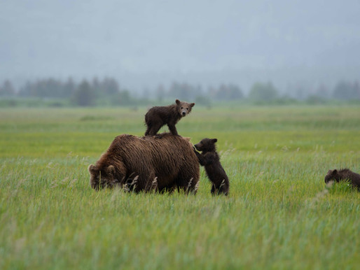 """Why We Don't """"Guarantee Bears"""": A Philosophy of Bear Viewing"""