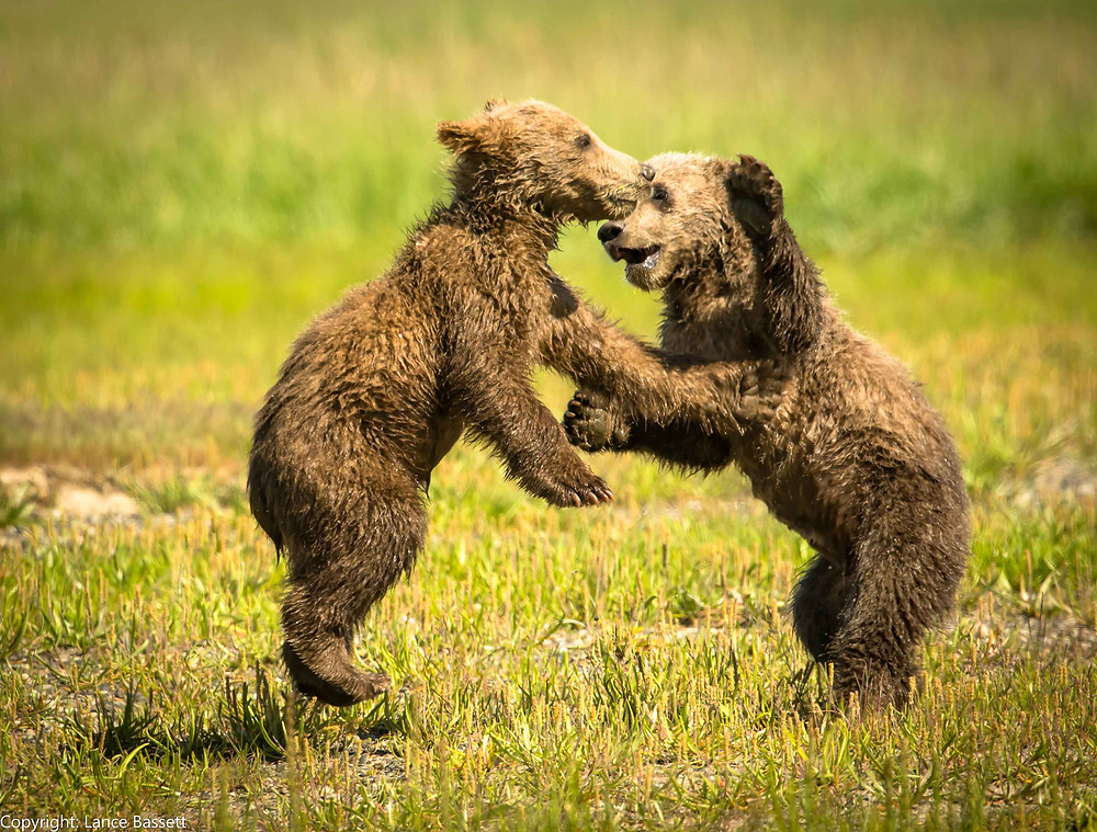 Alaskan Coastal Brown Bear cubs in Katmai National Park and Preserve