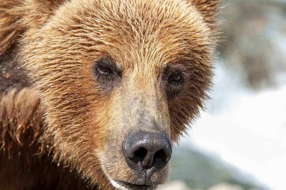 An Alaskan Coastal Brown Bear in Katmai National Park and Preserve