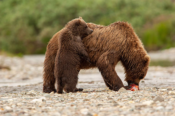 Bear viewing in Katmai National Park and Preserve with an Alaskan Coastal Brown Bear with spring cub.