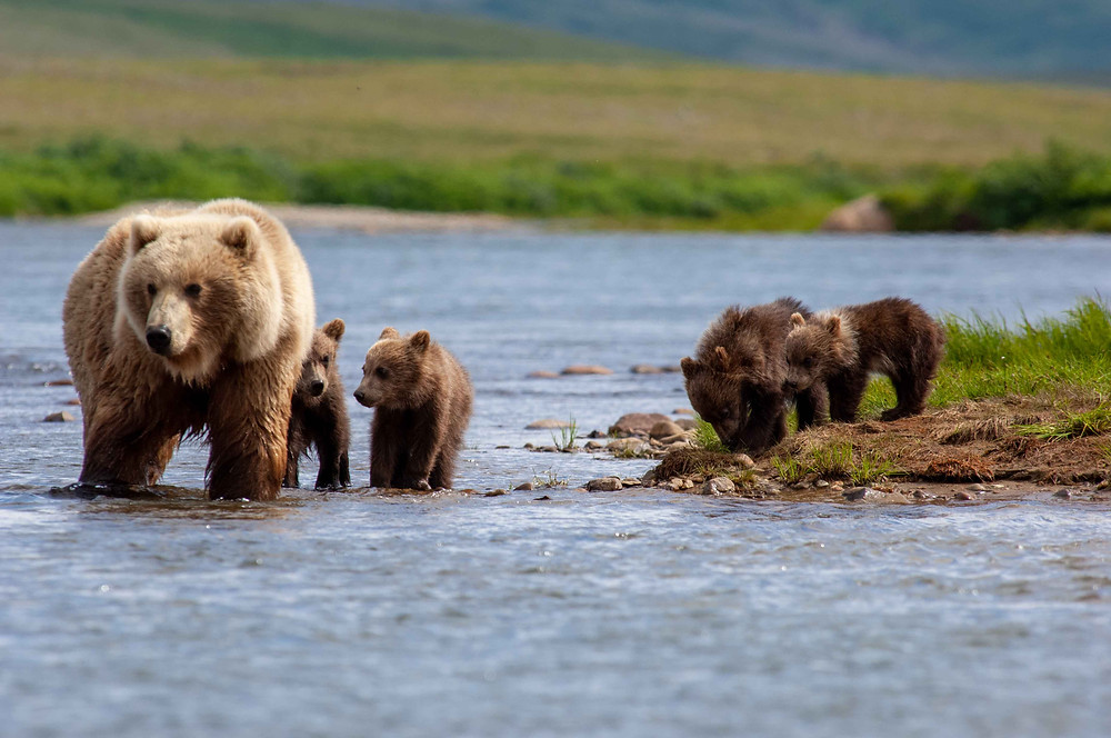 An Alaskan Coastal Brown Bear and her four cubs in Katmai National Park and Preserve