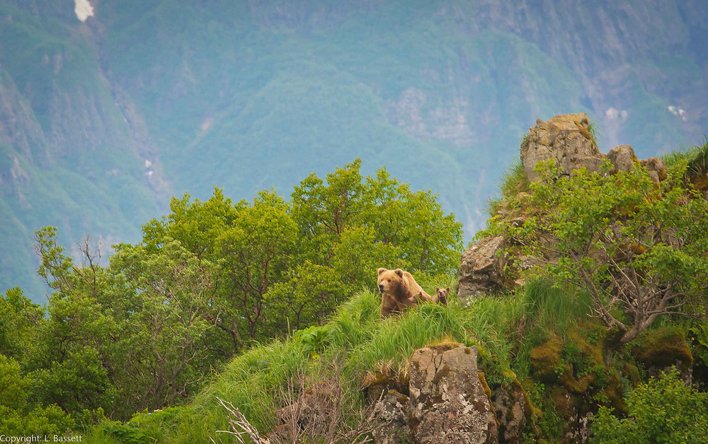 Alaskan Coastal Brown Bear with cubs in Katmai National Park and Preserve