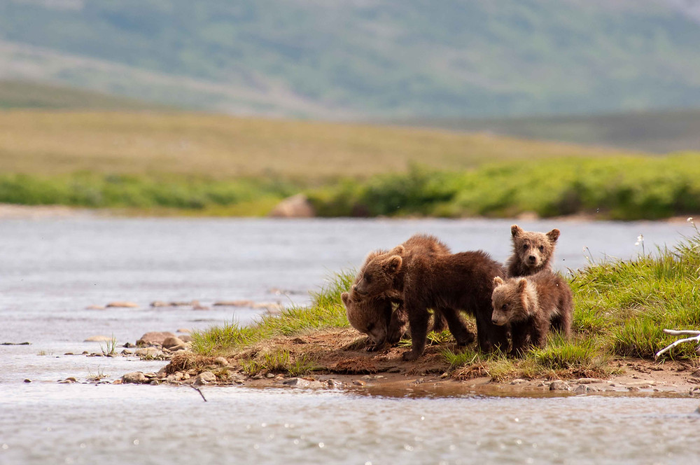 Four spring cubs on the bank of one of Katmai's creeks.